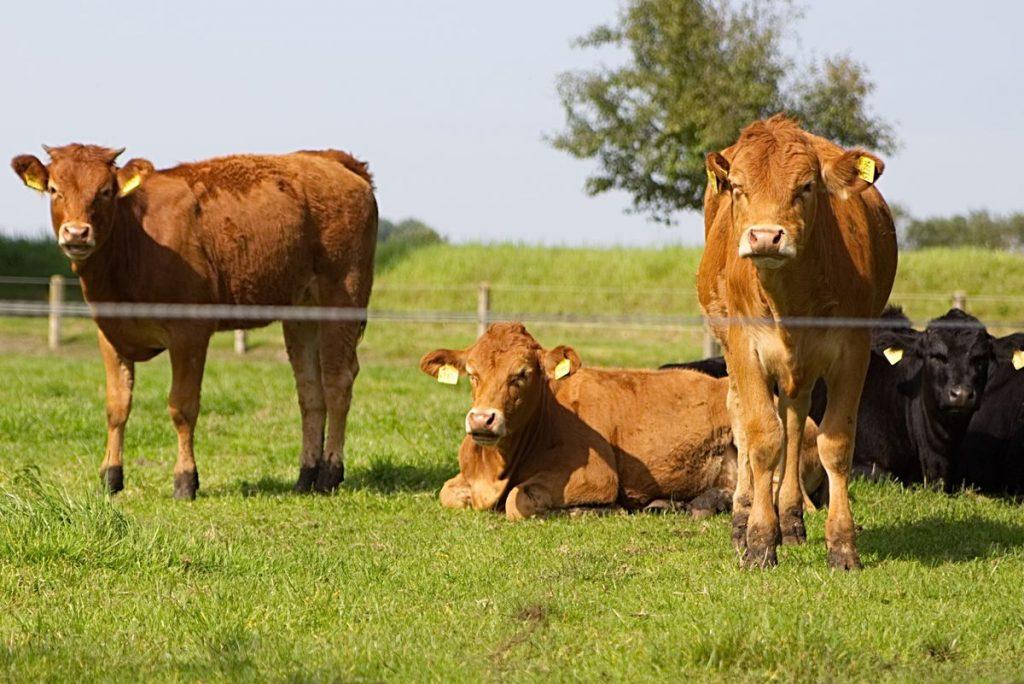 Limousin Rinder auf Hof Möllering